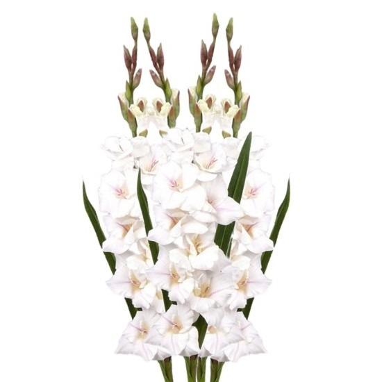 4x Witte gladiolen 102 cm