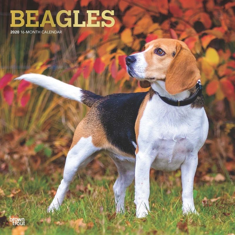 Beagle hond 2020 dieren wandkalender