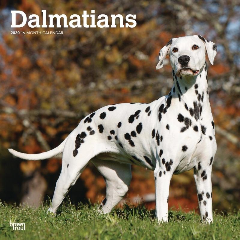 Dalmatier hond 2020 dieren wandkalender